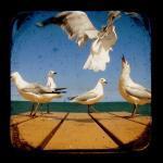 Bird Photography 5x5 TtV Seagulls P..