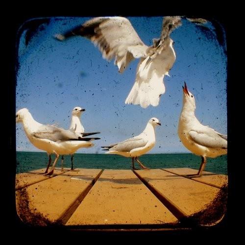 Bird Photography 5x5 TtV Seagulls Photo Print - Animal, Wildlife Photograph Wall Decor