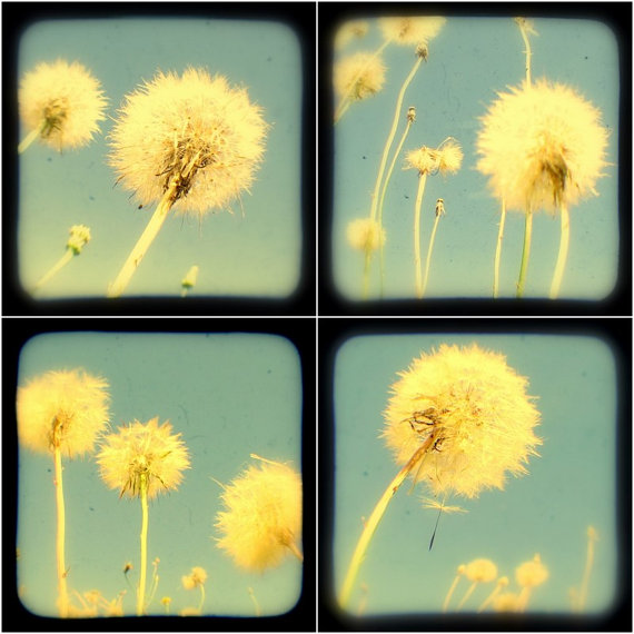 Dandelion Photo Set of Four - 5x5 TtV Botanical Photography Prints - Summer Wall Art